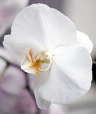 White orchid flower. Close Up beautiful white orchid flower on purple background stock photos