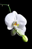 White orchid flower. Stock Images
