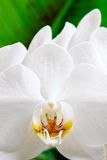 White orchid flower. Macro view of white orchid flower in bloom, green leaf in background royalty free stock photography