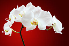 White orchid flower. Close up of blooming white orchid flower, red background royalty free stock image