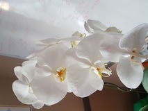 White orchid. Flower Royalty Free Stock Images
