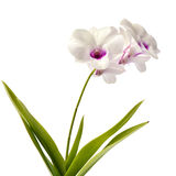 White orchid flower Stock Images