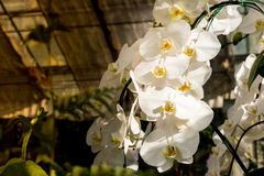 White orchid flower. Royalty Free Stock Images