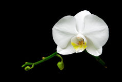 White orchid flower on a black background Stock Photography