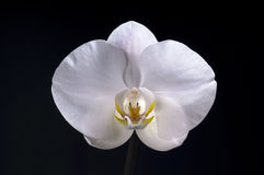 White orchid flower on black background. Lights with very smooth light Stock Photography