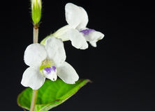 White Orchid Flower Royalty Free Stock Photos