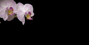 White Orchid Flower on black background.Closeup Stock Photos