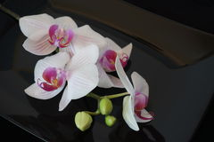 White Orchid Flower On Black Background Stock Image
