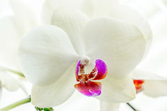 White orchid flower on black. Background lights with very smooth light Stock Photo