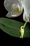 White orchid Royalty Free Stock Photo