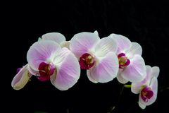White orchid flower with black background Stock Photography