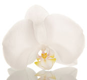 White orchid flower blossom Stock Images