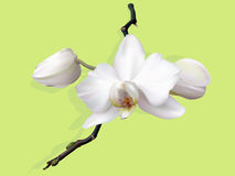 White  orchid flower with buds Stock Images