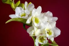White orchid, flower and buds stock images