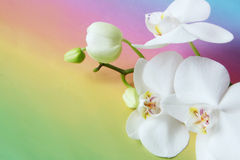 White orchid flower on colorful background. Detail of orchid flower on colorful background Royalty Free Stock Photography