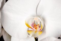White orchid flower detail Stock Photography