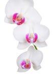 White orchid flower, DOF Stock Image