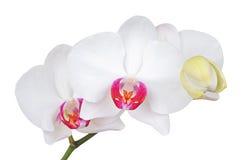 White orchid flower, DOF Stock Photo