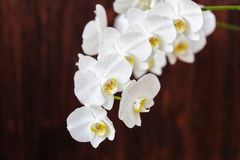 White orchid flower with drops on a wooden background, closeup Royalty Free Stock Images