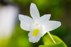 White orchid flower with green nature background royalty free stock images