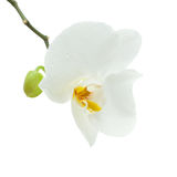 White orchid flower isolated Stock Images