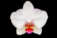 White Orchid flower. Isolated over Black background Stock Photos