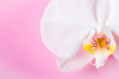 White orchid flower isolated on pink background Stock Photography