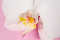 White orchid flower isolated on pink background Stock Image