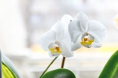 White orchid flower on a light background in creative blur.  royalty free stock photos