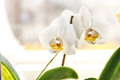 White orchid flower on a light background in creative blur.  royalty free stock photo