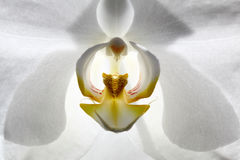 White orchid flower. Royalty Free Stock Image