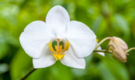 White Orchid. Flower in Malaysia Stock Images