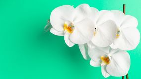 White orchid flower on a Mint background royalty free stock images