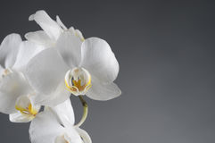 White orchid flower Royalty Free Stock Photography