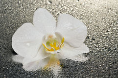 White orchid flower over wet surface Stock Photos
