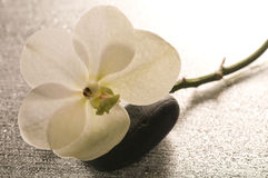 White orchid flower over wet surface Royalty Free Stock Photo