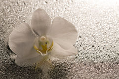 White orchid flower over wet surface Stock Image