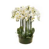 White orchid flower, phalaenopsis in a pot Royalty Free Stock Photo