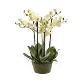 White orchid flower, phalaenopsis in a pot Stock Image