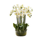 White orchid flower, phalaenopsis in a pot Royalty Free Stock Image