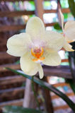 White orchid flower (with pink dot)  in bloom Stock Photo