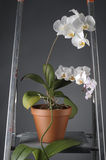 White orchid flower in a pot Stock Photos