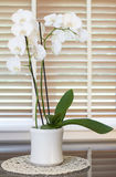 White orchid flower in a pot in front of a window with wooden bl Royalty Free Stock Image