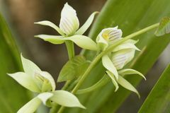 White orchid flower Prosthechea sp. Royalty Free Stock Photos
