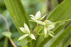 White orchid flower Prosthechea sp. Royalty Free Stock Photography
