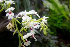 White orchid flower Royalty Free Stock Photo
