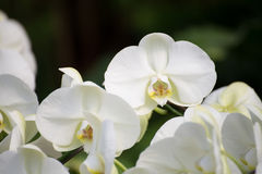 White orchid flower. In thailand Royalty Free Stock Image