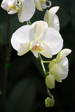 White orchid flower. In thailand Stock Photo