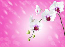 White orchid flower on white Stock Images