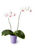 White Orchid Flowerpot. A couple of white orchid flowers in a flowerpot. Isolated on white. (Including clipping path royalty free stock photography